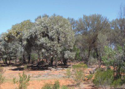 Acacia woodlands